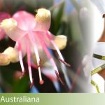 dimagrire fiori australiani