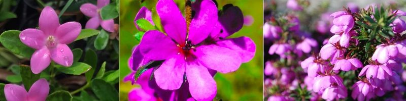 ansia fiori australiani